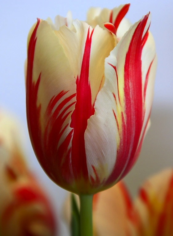 Turkish Tulips Because I Love Sand