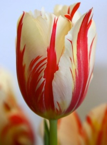 Nature_Flowers_Red_striped_tulip__Flowers_008324_